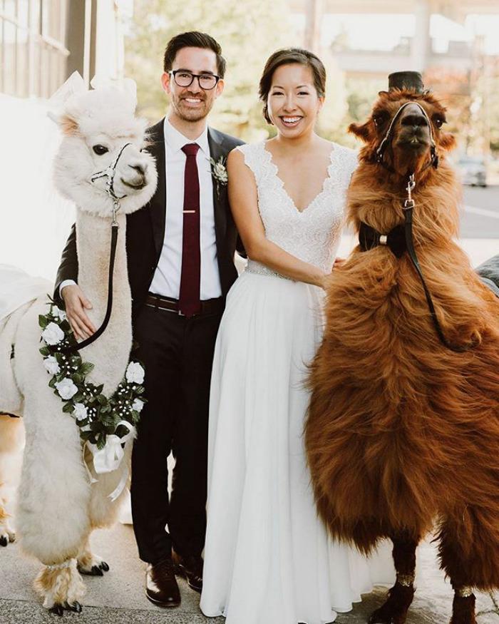 Какие они, невозмутимые свадебные ламы
