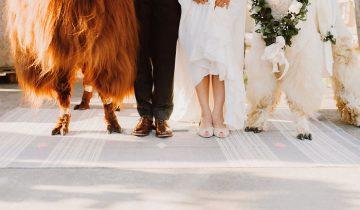 Какие они, невозмутимые свадебные ламы?