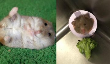 Подвиг ветеринара: история спасения маленькой озорной хомячихи