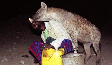 «Пастухи гиен» из Харара каждую ночь кормят хищников прямо с рук
