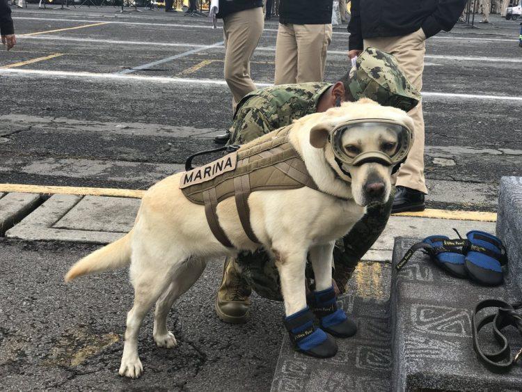 Самая крутая собака-госслужащий Мексики за короткое начало карьеры уже спасла полсотни людей!