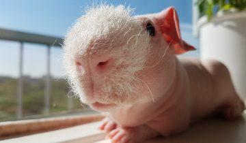 Новые питомцы ученых-биологов: лысенькие морские свинки