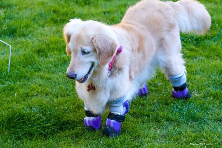 У ретривера Чи-Чи нет лапок, но она — самая известная собака-терапевт в Лос-Анджелесе .