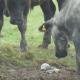 Ученый заметил, что тридцать коров собрались и с любопытством разглядывают что-то в грязи