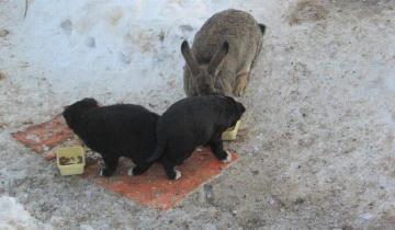 Чудесная история из Омска: одичавший кролик спас осиротевших щенков