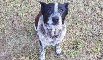 Старый, полуслепой пес спас свою маленькую хозяйку и прославился на всю страну