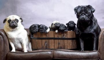 Ошалевший от счастья заводчик мопсов заказал фотосессию для новорожденных щенков