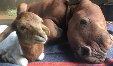 Осиротевший крошка-носорог был так мал, что никак не мог найти себе друзей