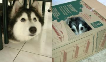 Хаски Талли считает себя кошкой и никак не хочет поверить, что она — собака