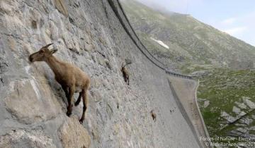 Уникальные альпийские козы пасутся на отвесной дамбе горного озера