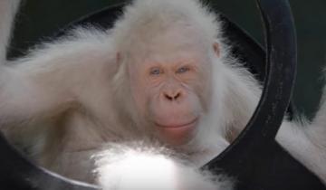 Единственная в мире самка орангутанга альбинос получила собственный остров