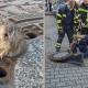 В Германии крыса застряла в люке. И спасать её приехала.. целая команда пожарных!