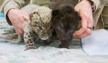 На свет появились два очень ценных леопардика и один из них — черный!
