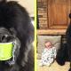 33 фото, которые доказывают, что ньюфаундленды – не собаки, а огромные плюшевые медведи