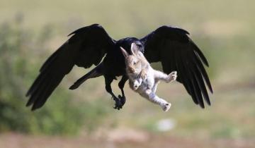 Драматическая фотоистория спасения крольчонка от вороны