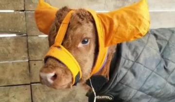 Фермеры защищают новорожденных телят от холода при помощи смешных шапочек