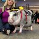 В аэропорту Сан-Франциско появилась первая в мире свинка-терапевт, которая утешает людей