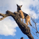 В азарте погони за кошкой овчарка сама не заметила, как забралась на вершину дерева