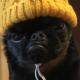Восходящая звезда соцсетей: «вечно сварливый» щенок Чико!