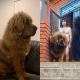 Пользователи делятся забавными и милыми фотографиями тибетских мастифов (15 фото)