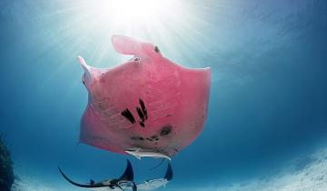 Редчайшая розовая манта «Инспектор Клузе» вновь показалась людям