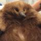 Необыкновенная толстая ехидна пережила ДТП благодаря жировому щиту