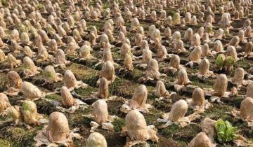 Японский фермер обнаружил на своем поле десятки «яиц инопланетян», но не придал этому значения