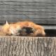 Безмятежно спящая на большом пне лиса обрадовала тысячи канадцев и не только