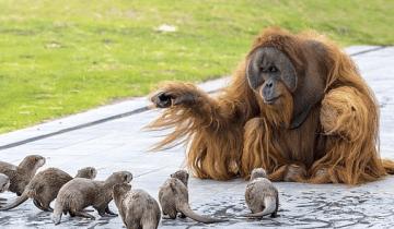 Семья орангутанов подружилась с семьей выдр в бельгийском зоопарке