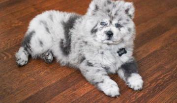 Щенок по кличке Пушистое Облако станет самой лучшей терапевтической собакой мира!