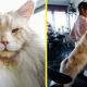 Огромный кот Лотус покоряет Интернет и 100% покорит вас тоже!