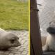 К мужчине на участок забрёл тюлень. Но позже оказалось, что он приютил вовсе не морского льва