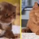 В немецком питомнике вывели невероятно красивых котов с шоколадной шубкой