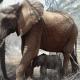 Мама-слониха привела новорожденного слоненка к людям, которые спасли ей жизнь