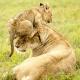 Когда от детских шалостей у мамы совсем опускаются лапы, в дело вступает папа-лев!