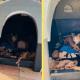 Благородный питбуль не только привел домой беременную кошку, а и помог ей родить