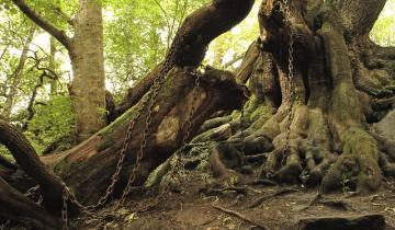 Посреди Англии стоит закованный в цепи дуб с мрачной легендой