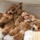 6-месячный малыш в окружении собак уникальной породы голдендудль поразил сеть