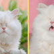 Безглазый кот Моет цвета шампанского работает моделью и стал очень популярным