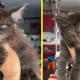 У мейн-куна родилось 5 котят. Они милые, но выражение их мордочек — очень суровое
