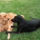 Пес так сильно влюблен в соседскую собаку, что среди ночи проведывает ее с подарками!