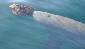 Зачем дельфины поднимают со дна раковины?