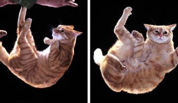 Ученые объяснили, как кошкам удается всегда приземляться на лапы