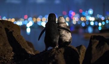Очень трогательное фото: пингвины обнимаются и утешают друг друга