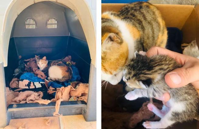 Добрый питбуль привел домой беременную кошку