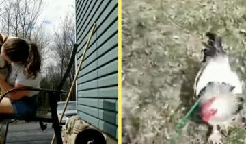 Хозяйка приучила петуха к собачьему поводку