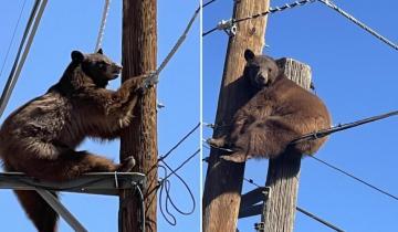 Как спасают медведей, застрявших на столбах