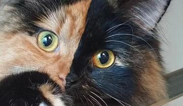 Двуликая кошка Луна — уникум с двумя наборами ДНК